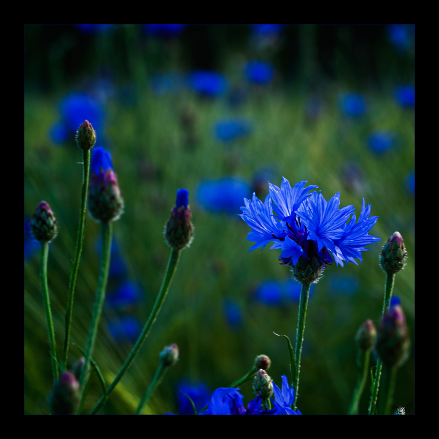 mexi photos   photoinspirations kornblumenblau