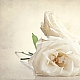 three white roses ...